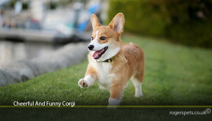 Cheerful And Funny Corgi