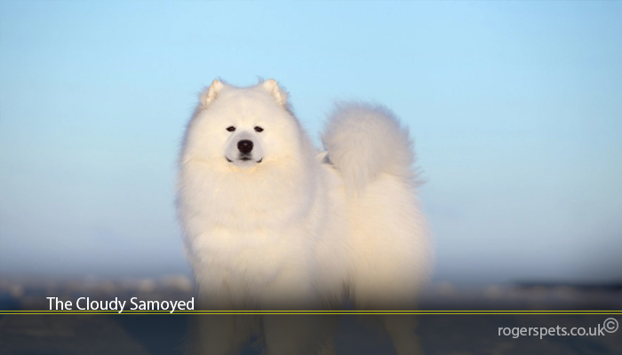 The Cloudy Samoyed