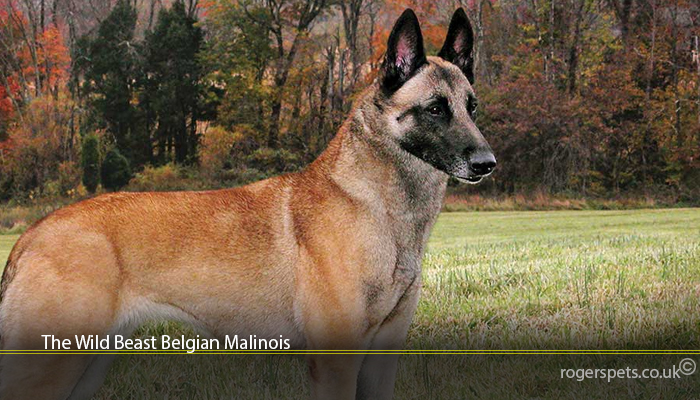 The Wild Beast Belgian Malinois