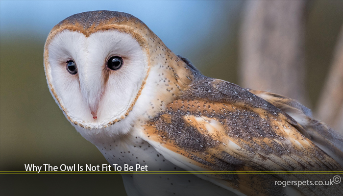 Why The Owl Is Not Fit To Be Pet